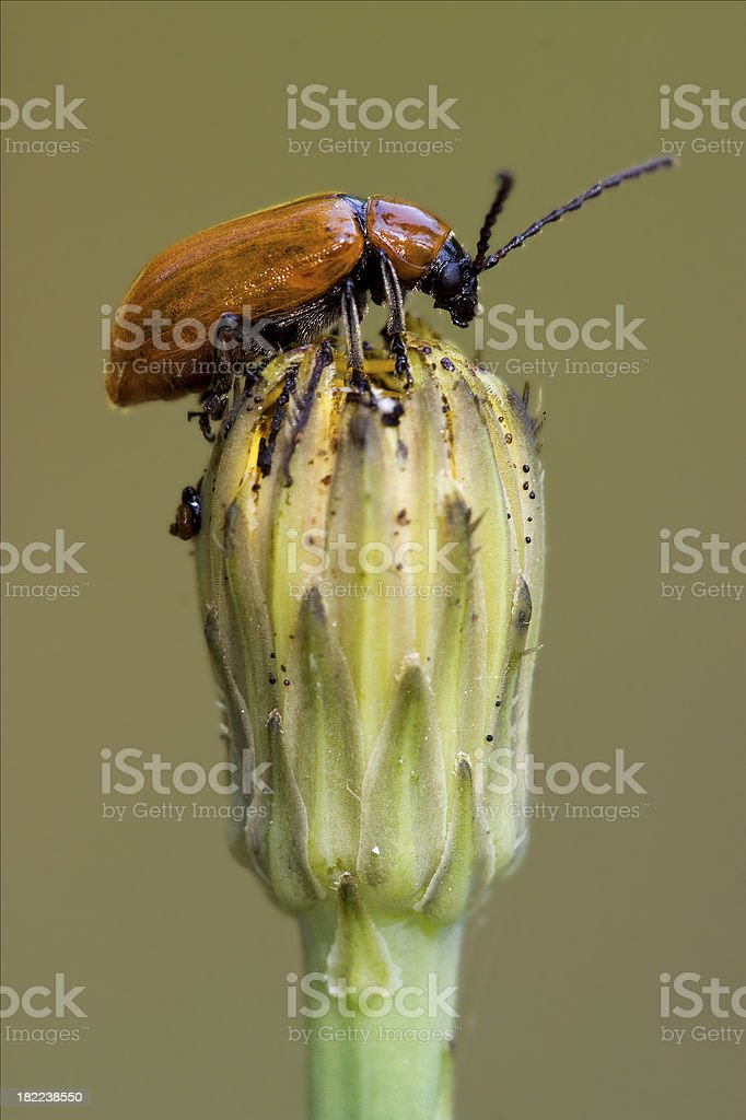 the side of  wild  coccinellidae  cercopidae royalty-free stock photo