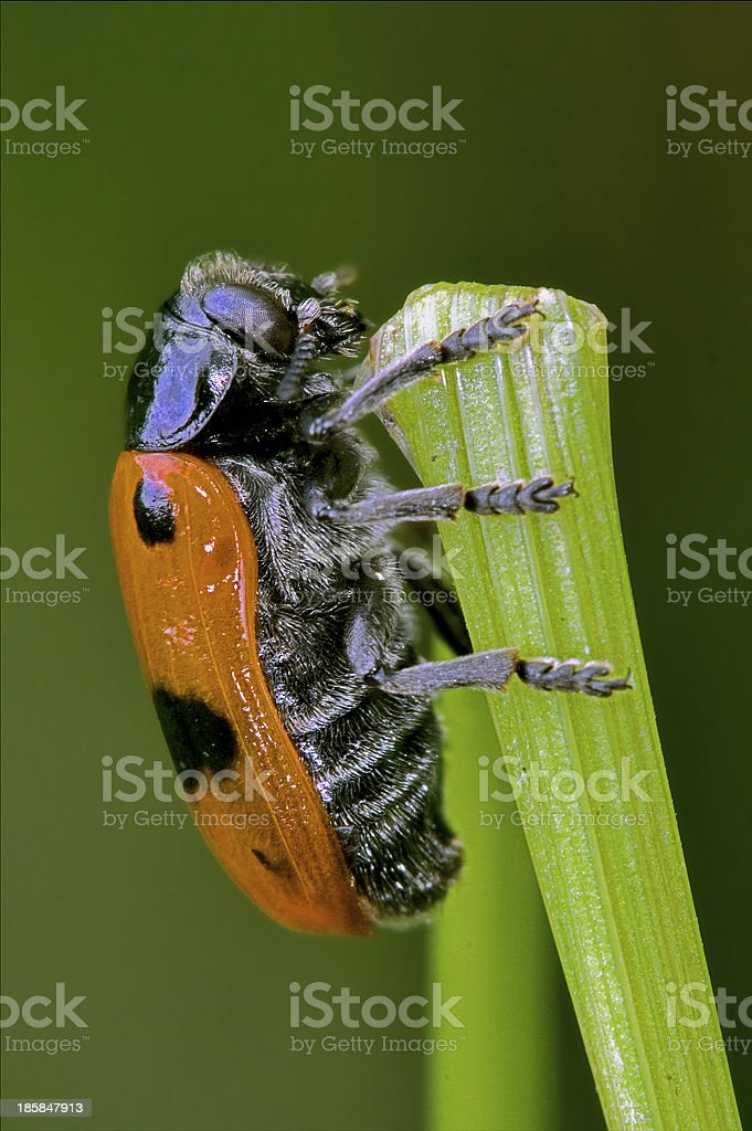 the side of  wild red cercopidae vulnerata coccinellidae royalty-free stock photo