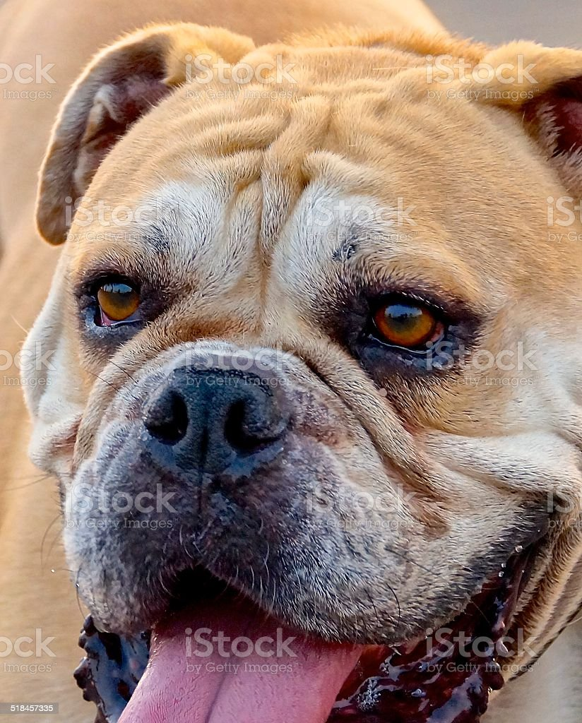 The side view of a British bulldog stock photo