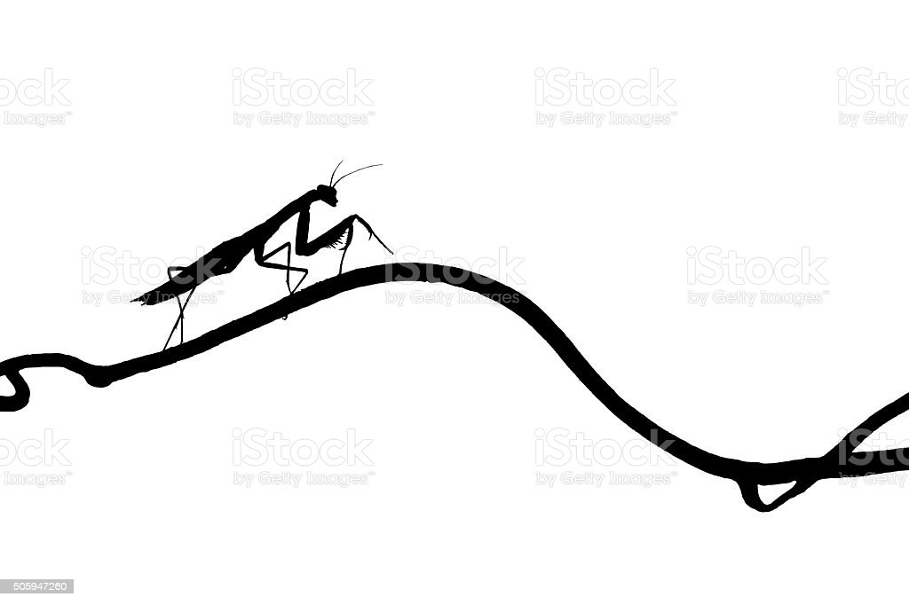 the silhouette of graceful praying mantis on  slender twig isolated stock photo