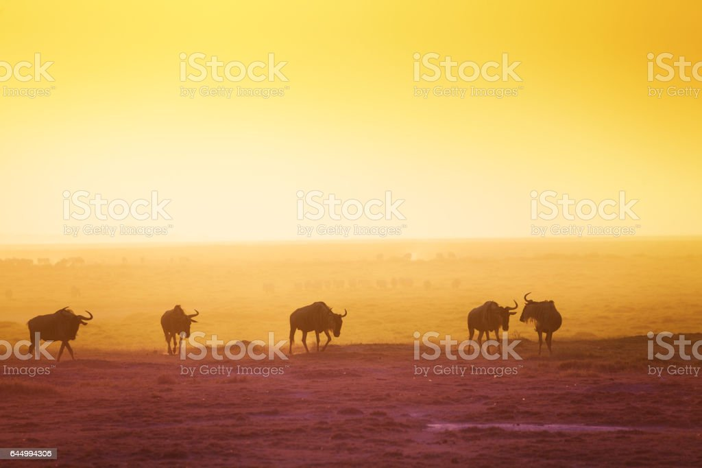 The silhouettes of wildebeests over sunset savanna stock photo