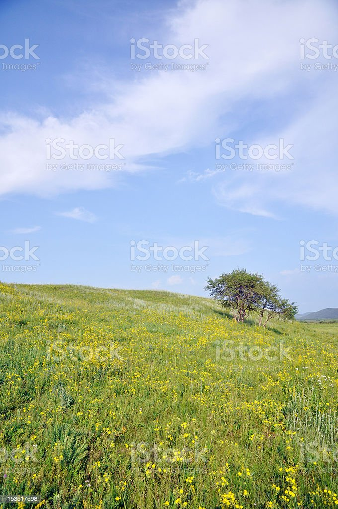 The silver birch and pasture stock photo