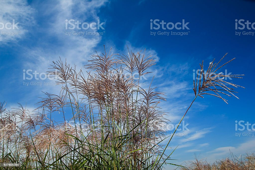 the silver grass dancing with clouds stock photo