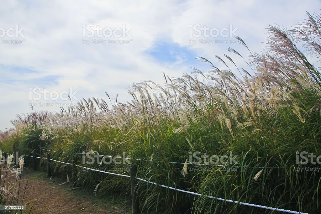 the silver grass & reeds in the field stock photo