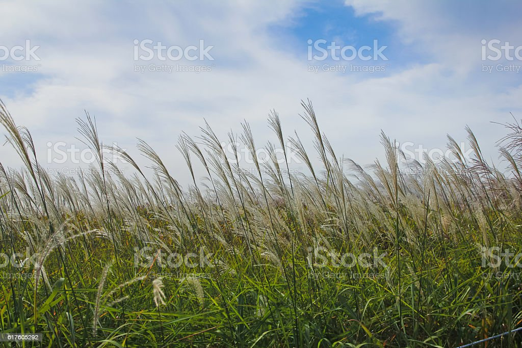 the silver grass & the reeds stock photo