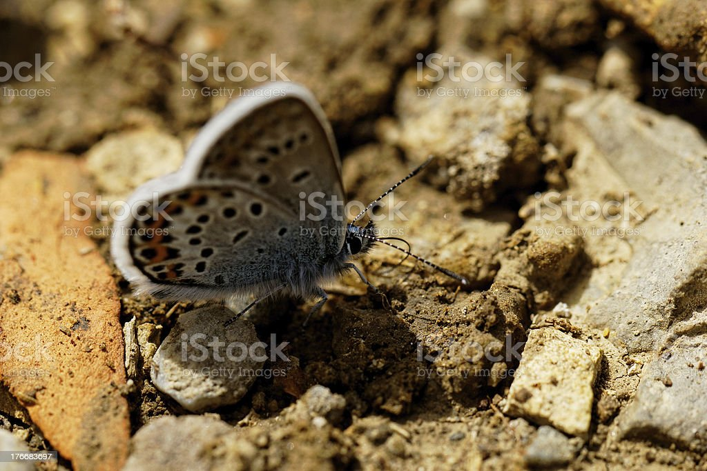 The Silver-studded Blue (Plebejus argus) butterfly royalty-free stock photo