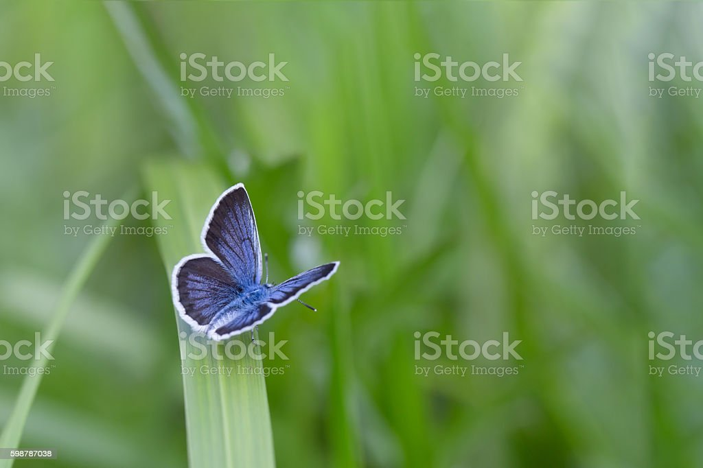 The Silver-studded Blue stock photo