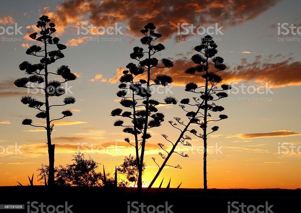 The Sisal Plant silhouettes stock photo