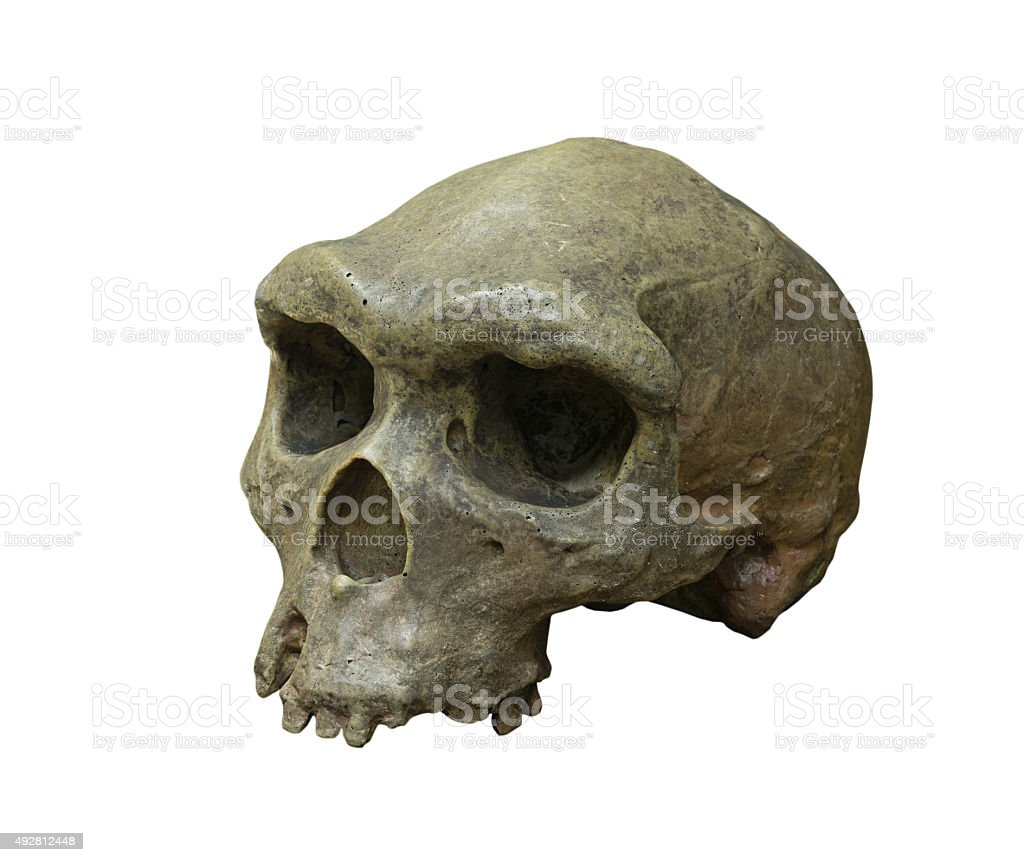 The skull of Homo erectus on white background stock photo