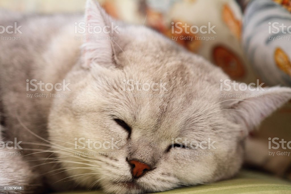 The sleeping cat of a smoky color stock photo