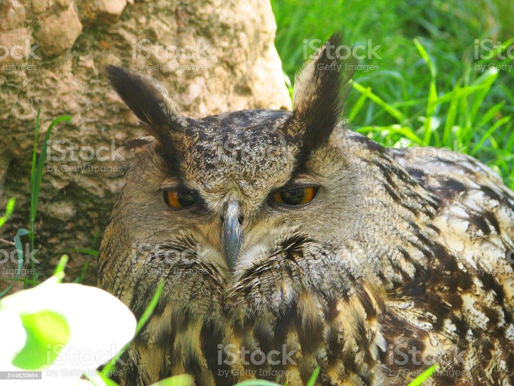The sleepy owl stock photo