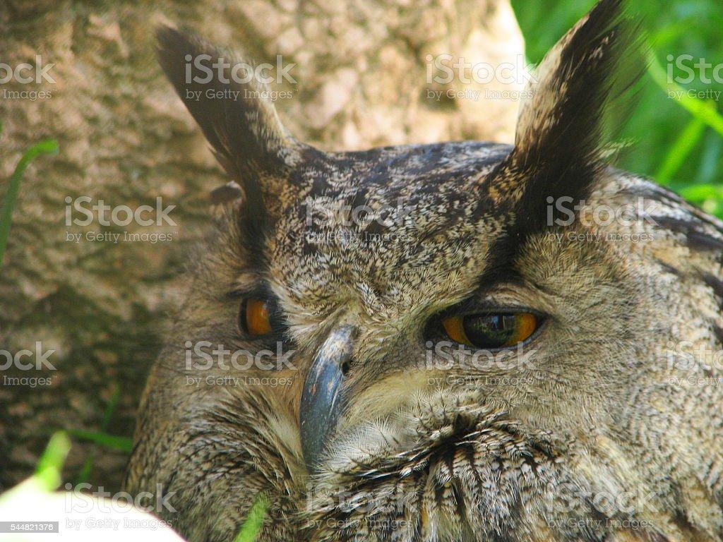The sleepy owl too stock photo