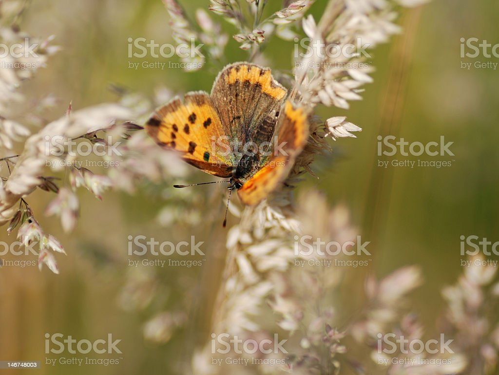 The small copper/Lycaena phlaeas royalty-free stock photo
