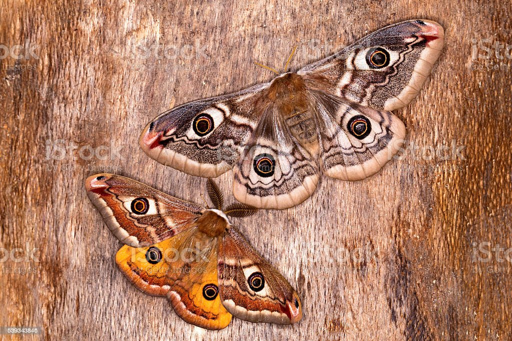 The Small Emperor Moth (Saturnia pavoniella) stock photo