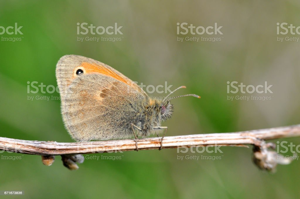 The Small Heath butterfly, Coenonympha pamphilus  on dry grass in meadow stock photo