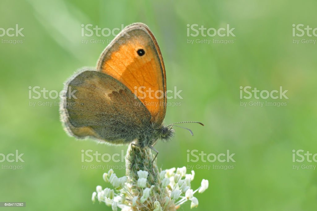 The Small Heath butterfly, stock photo