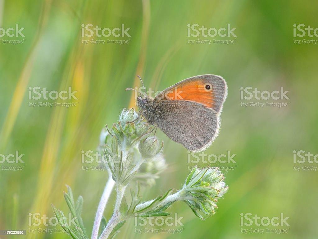 The Small Heath, Coenonympha pamphilus stock photo