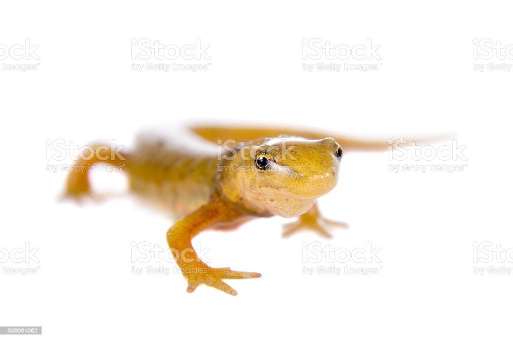 The smooth or common newt, Lissotriton vulgaris, on white stock photo