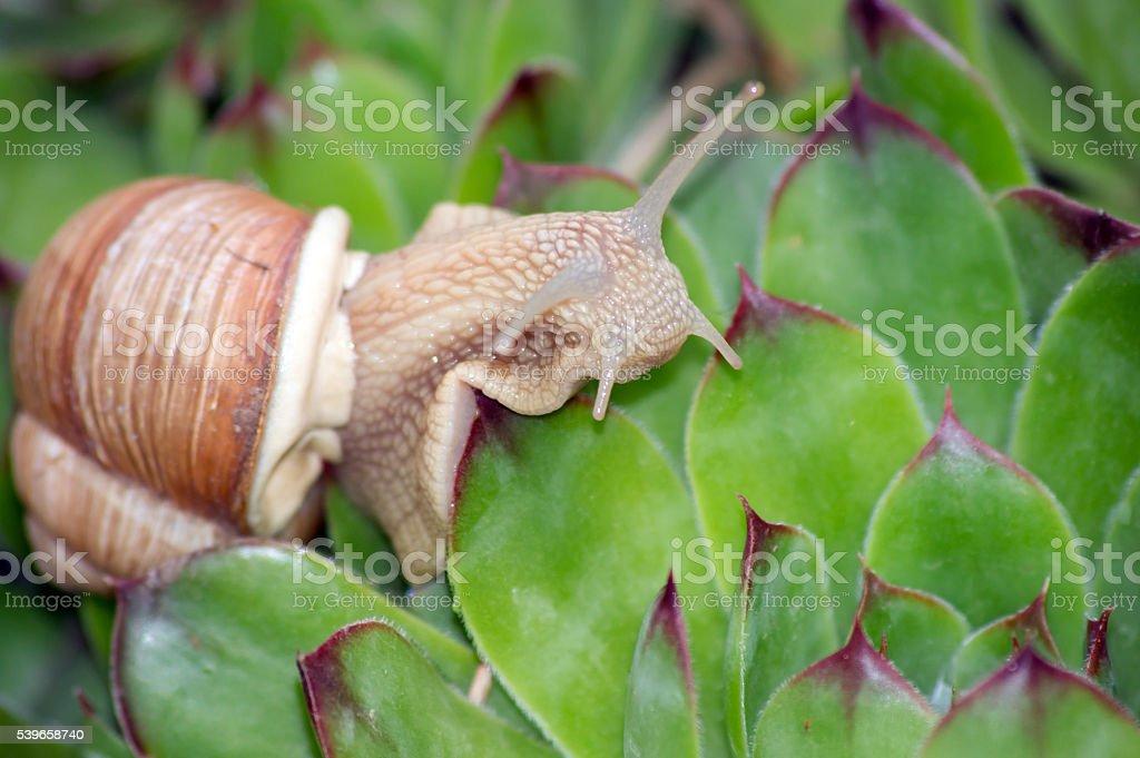 The snails (Helix pomatia) stock photo