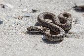 The snake basking on the sand, Kinburn Spit, Ukraine.