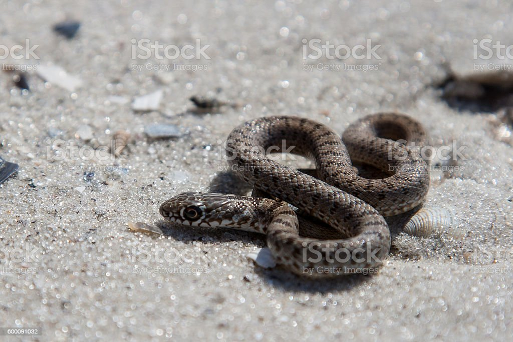The snake basking on the sand. stock photo