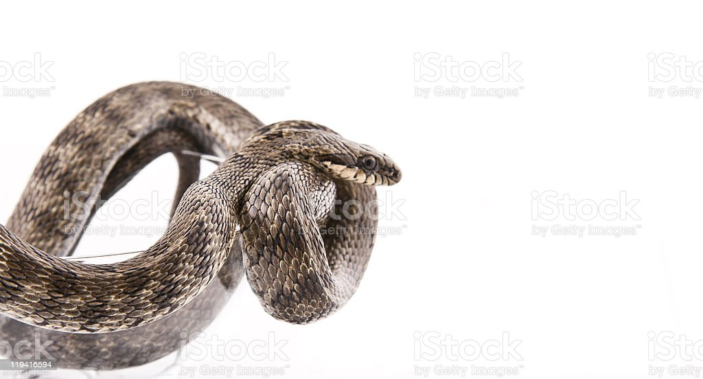 The snake twisted in goblet on a white background stock photo