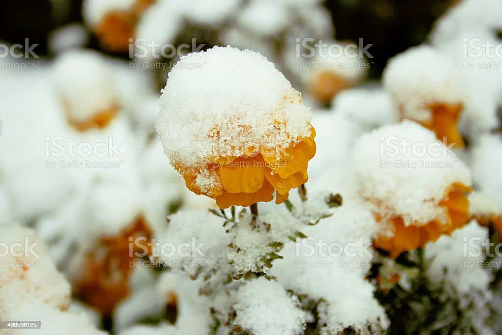 The snow on the flowers stock photo