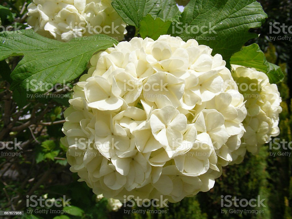 The snowball tree that opens the flowers of the spring, and the white flowers of mauve, stock photo