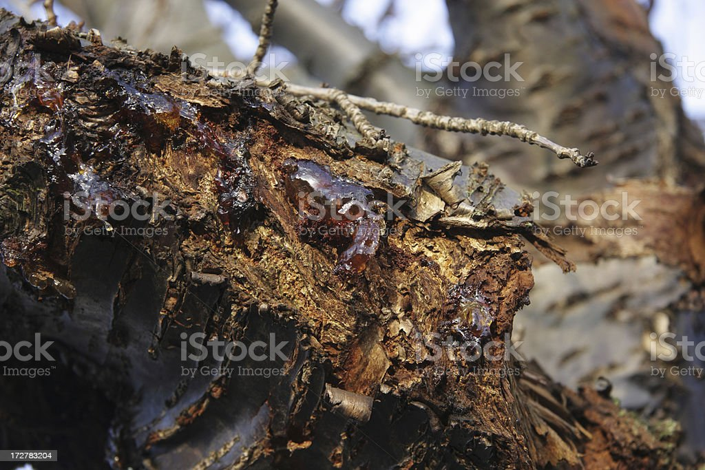 Injured cherry tree exudes resin amber stock photo