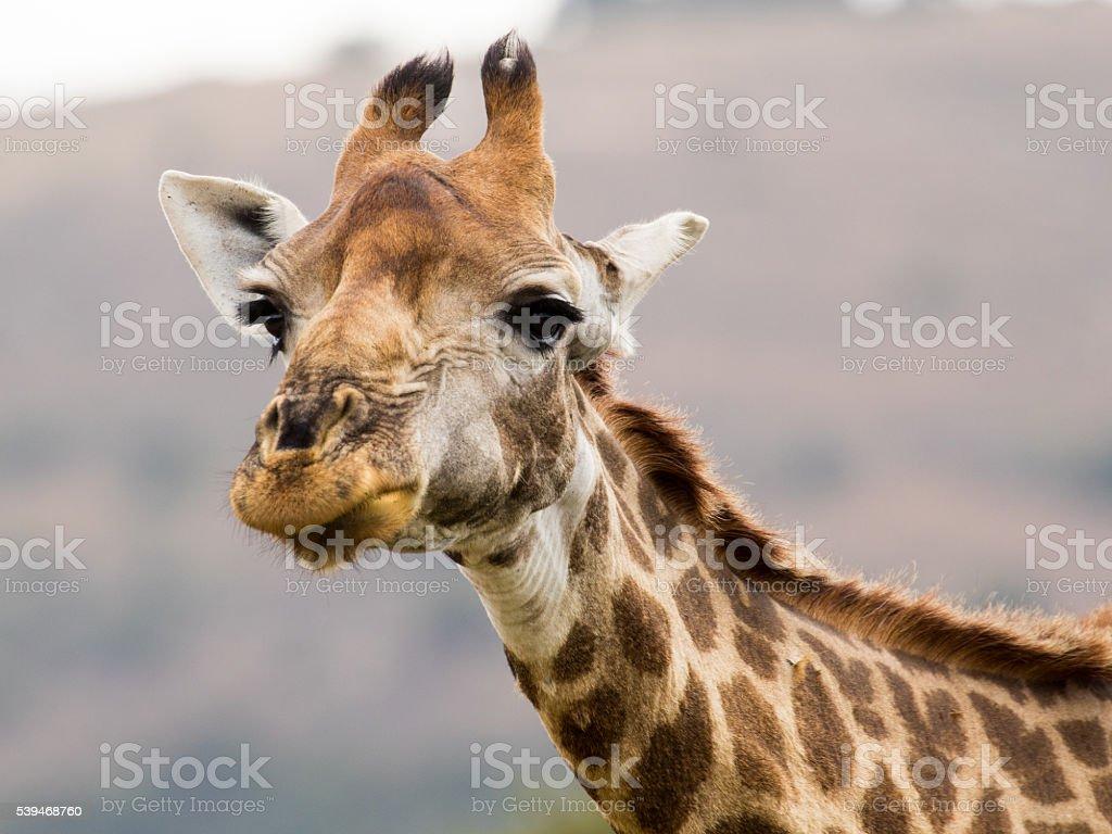 The South African Giraffe (Giraffa camelopardalis) stock photo