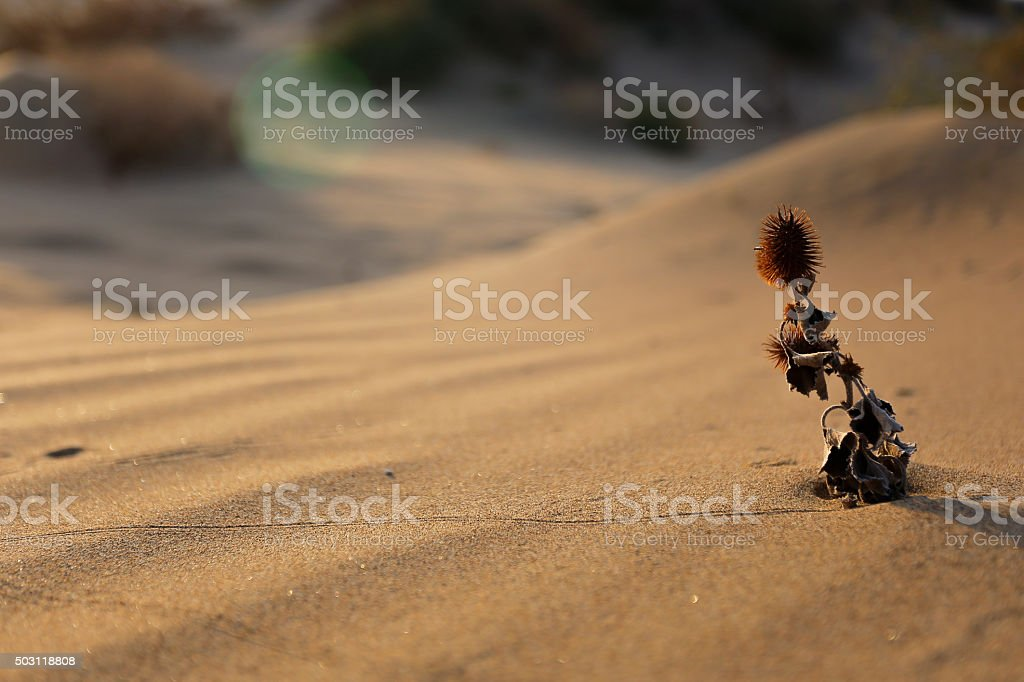 The southerly winds and sandy flower stock photo