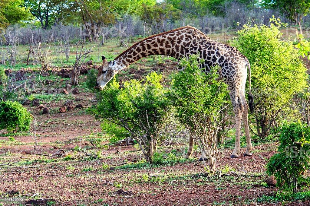 The southern giraffe (Giraffa) eating bushes, Botswana stock photo