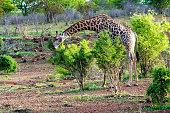 The southern giraffe (Giraffa) eating bushes, Botswana