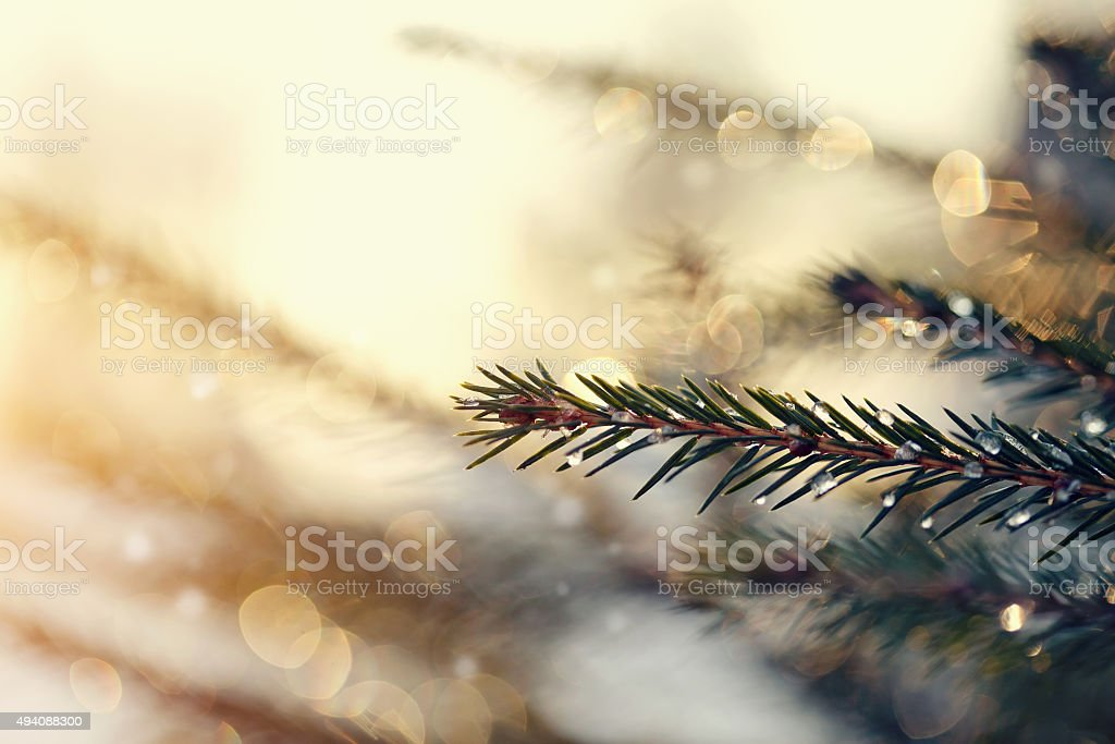 The sparkling ice drops on fir-tree branches. stock photo