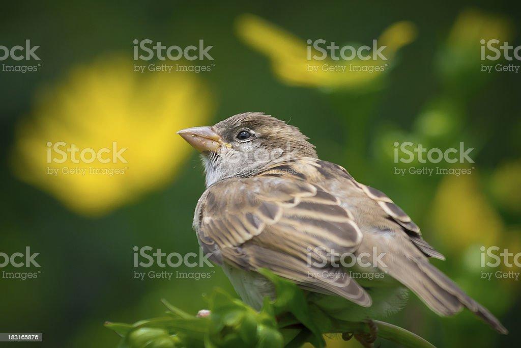 The sparrow royalty-free stock photo