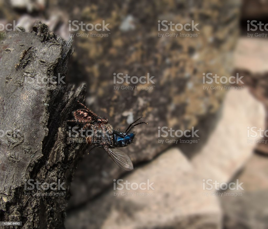 the spider and the fly royalty-free stock photo