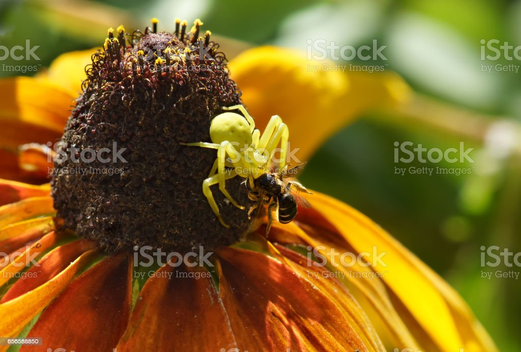 The spider backed on flower of rudbeckia stock photo