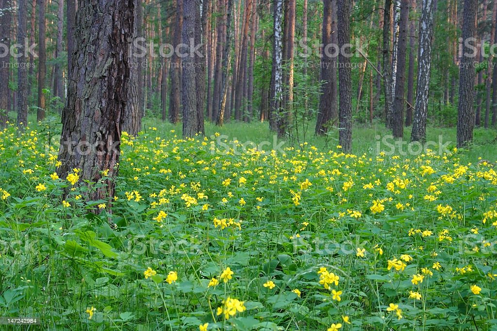 The spring forest landscape royalty-free stock photo