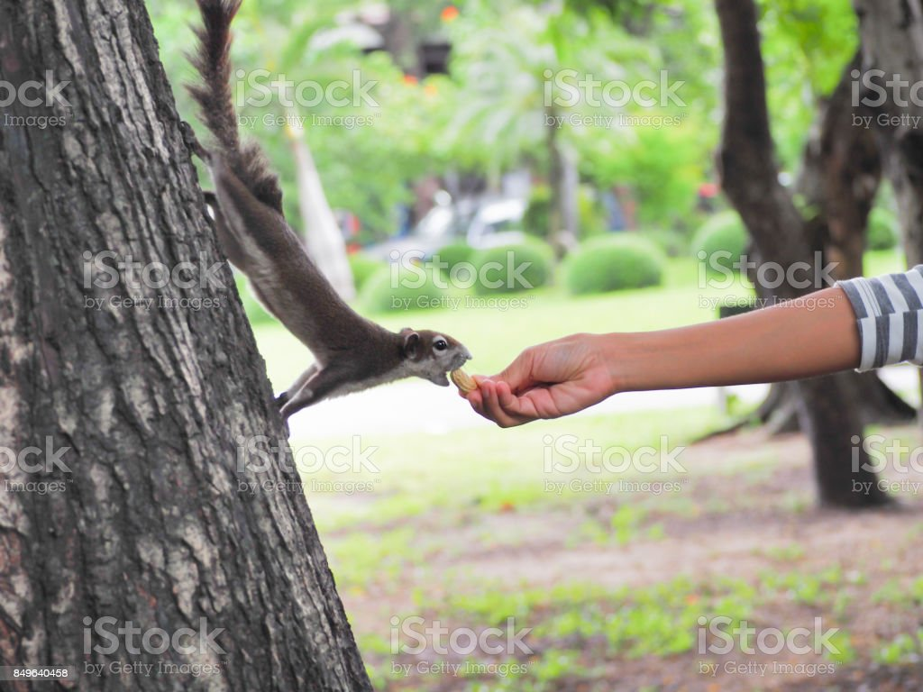 The squirrel are eating nut from the nice people. stock photo