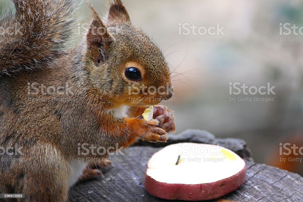 The squirrel having a meal royalty-free stock photo
