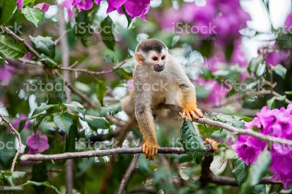 The squirrel monkey and pink flowers. stock photo