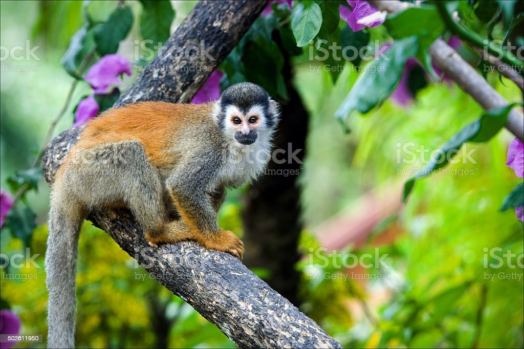 The squirrel monkey saimiri stock photo