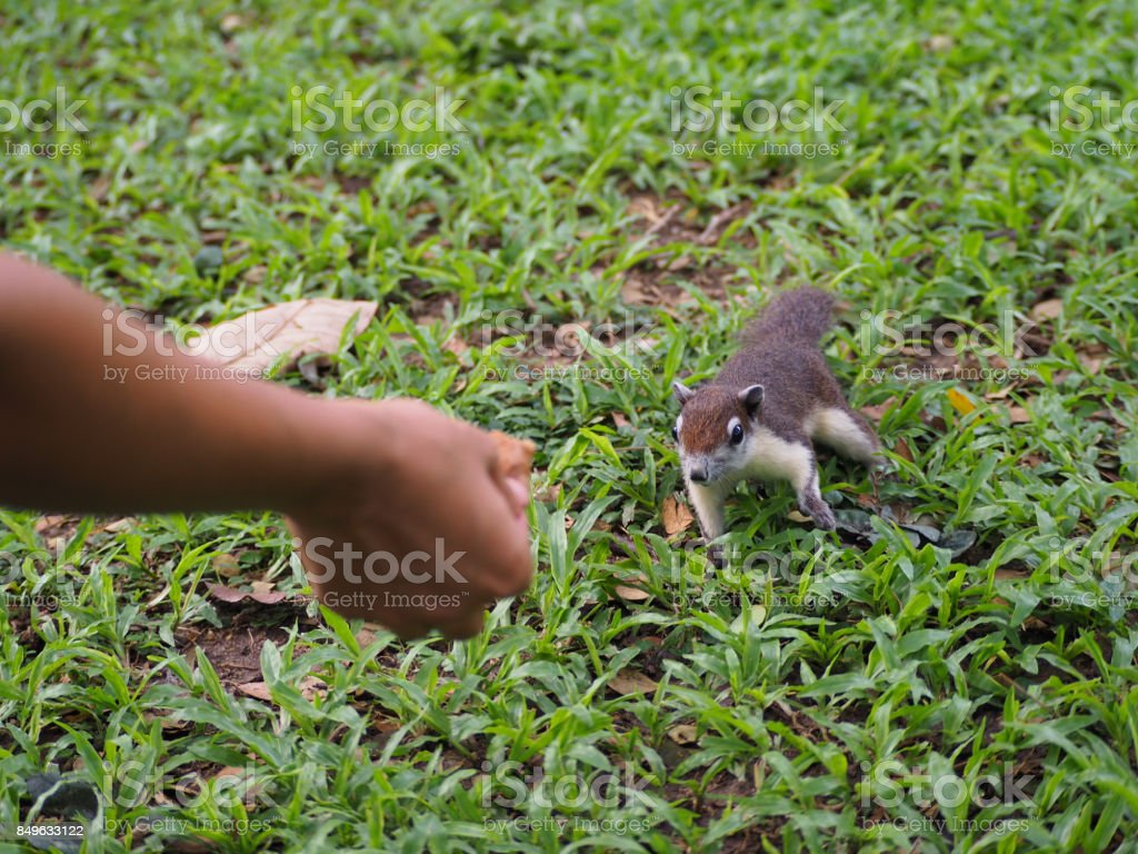 The squirrel see a food and coming for feeding. stock photo