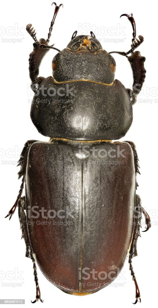 The stag beetle on white Background  -  Lucanus cervus (Linnaeus, 1758) stock photo