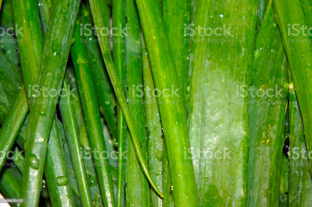 The stalks of green onions close-up stock photo
