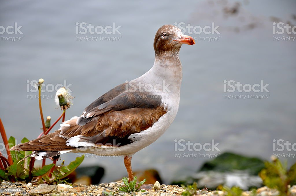 The Stand alone Dolphin Gull in South America stock photo