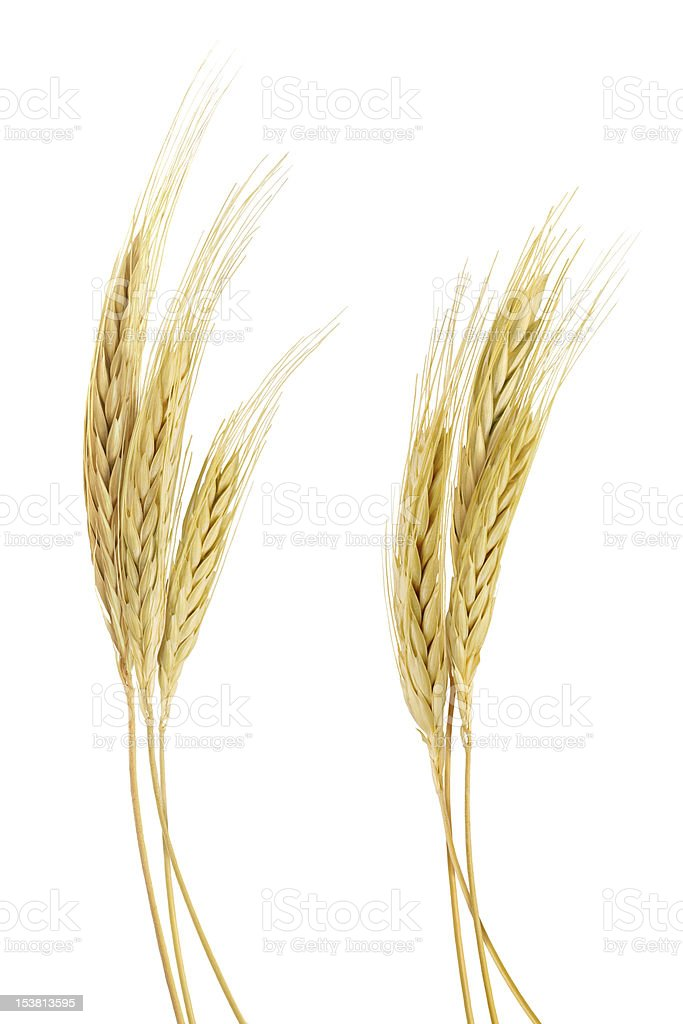 The stand golden barley on white background stock photo