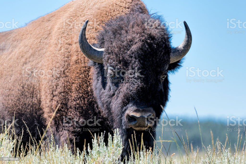 The Stare of a Buffalo stock photo