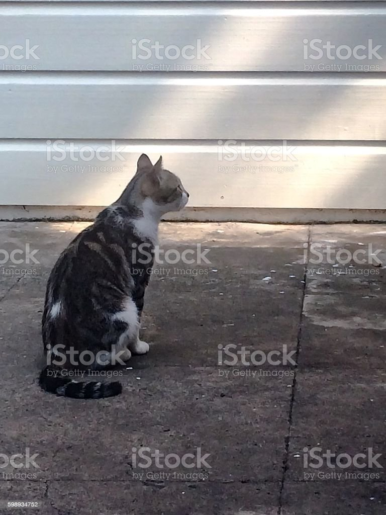 The Staring Calico Cat stock photo