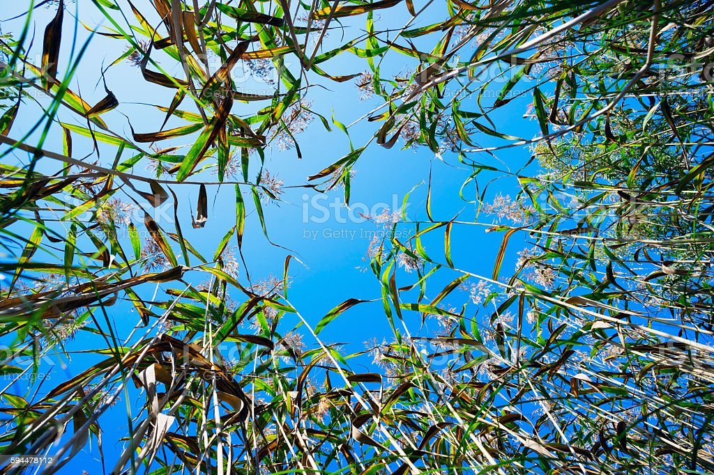The stems of reeds on blue sky background. stock photo